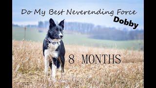 Dobby border collie / 8 months  trick & fun