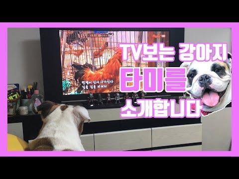 [ENG SUB] ♡Tommy the dog, watching TV like human♡티비보는 강아지 타미를 소개합니다♡ dog 불독 개 강아지