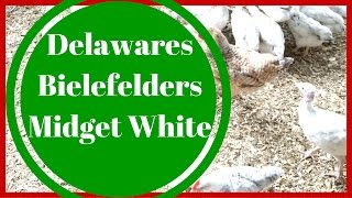 Delaware, Bielefelder Chicken and Midget White Turkey Update  - Alderman Farms