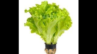 Выращивание салата. Результат.(Как я уже рассказывал в предыдущих видео, выращивание салата дома не очень сложное занятие, для которого..., 2015-04-01T08:51:33.000Z)