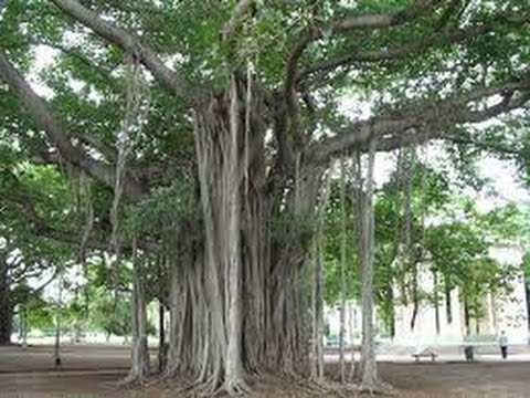 The Ficus Tree I Don T Like Iss A Great Indoor Plant Beast When Planted Outdoors