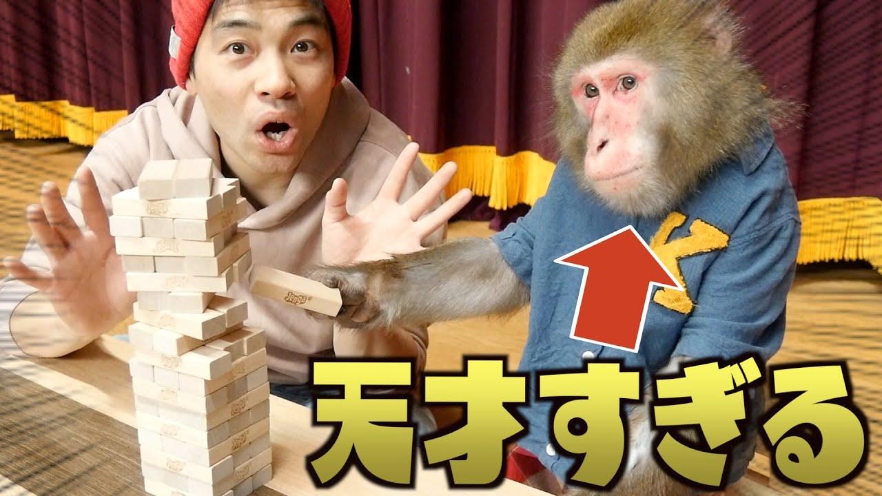 お猿さんに「ジェンガ」を教えたら天才すぎました…!