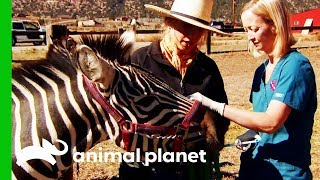 Two Feisty Zebras Need Their Vaccinations | Dr. Jeff: Rocky Mountain Vet