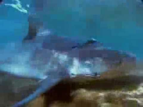 【ナショジオ】水中の殺し屋 オオメジãロザメ