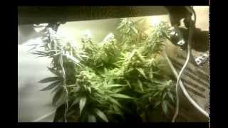 2oz Closet Grow with 150watt Light Cannabis Grow Journal - Buds McGee