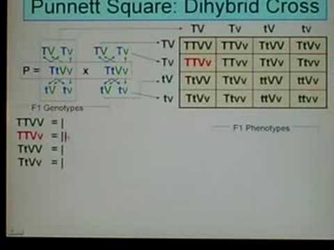 Genetics Dihybrid Cross 03