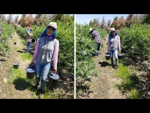 Cosecha  De Blueberry Por Contrato En California (Arandano) | Trabajadora De Campo