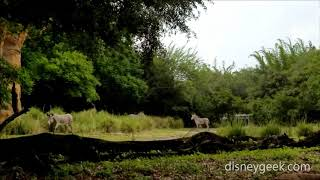 WDW: Disney's Animal Kingdom - Gorilla Falls - Zebra