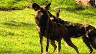 Painted Dog Valley - Cincinnati Zoo