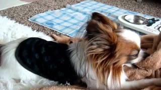 我が家の愛犬パピヨンの「ラズベリー」です。 お兄ちゃんのジャックラッ...
