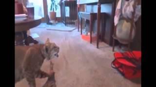 Очень смешное видео с кошками
