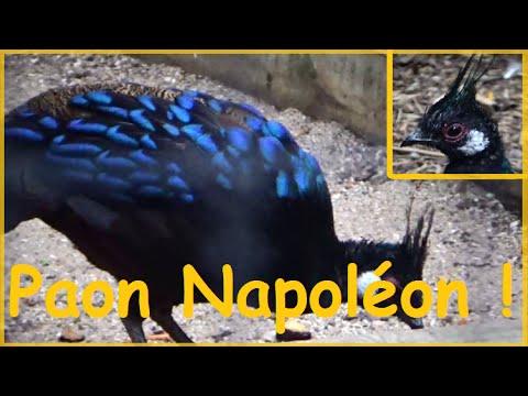 Polyplectron napoleonis (Lesson, 1831) -HD - Éperonnier napoléon de Palawan - Ménagerie - 10/2014