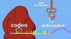 Synthèse des protéines: Traduction
