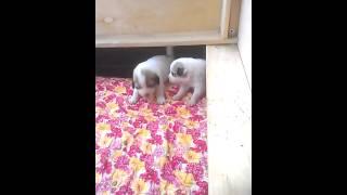 первые игры - щенкам пиренейской горной собаки 16 дней