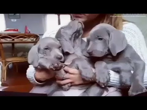 Trio of puppies cuddle together with their owner