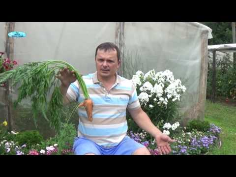 Вопрос: Почему у моркови листья в дырочку?