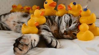 Хитрый Свин - японские забавы с котами 1 (Приколы с котами)