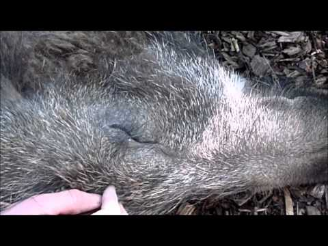 Wild boar loves to be cuddled