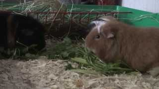 Кормление морских свинок american teddy guinea pig