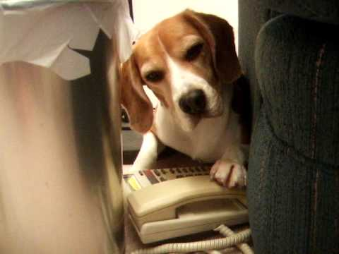 Kaiser The Beagle - Phone Call