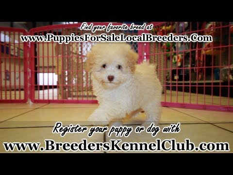 APRICOT TOY POODLE PUPPIES FOR SALE, GEORGIA LOCAL BREEDERS, NEAR ATLANTA, GA