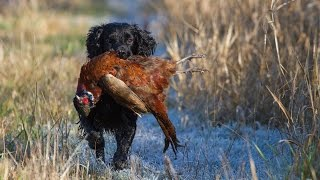 Rough Walked Up Game Shooting for Pheasants and Woodcock with Spaniels