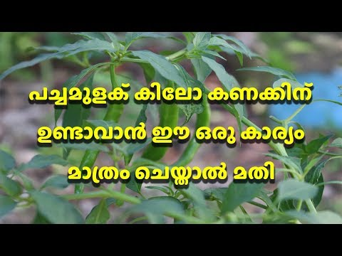 Green Chilli Plant Grow Well Tips And Tricks