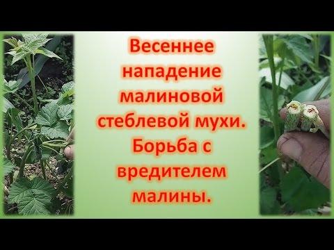Весенняя обработка малины от вредителей/Стеблевая малиновая муха/Опрыскивание малины