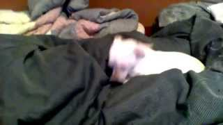 Chi Chi The Chihuahua Hates The Cha-Cha-Cha Chihuahua Song