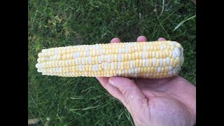 Freezing Corn On The Cob   Useful Knowledge