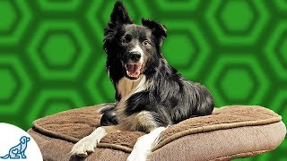 Teach Your Dog To Go To Bed And RELAX - Professional Dog Training Tips