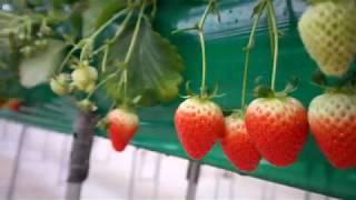 수경재배로 딸기를 재배하는 식물농장입니다.