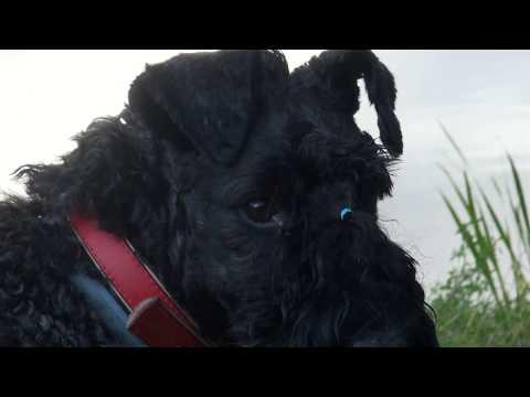 Kerry Blue Terrier(18 months): the most beautiful/ Унка (18 мес.): самая красивая