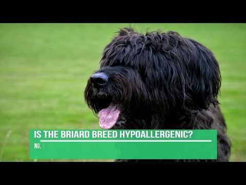 Briard Dog Breed Information - Briard Facts