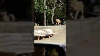 Lions on road in junagadh
