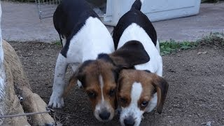 Buy Miniature Beagle Puppies 50% Off Christmas Beagles Special