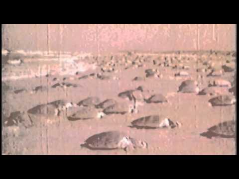 Old video sheds new light on plight of endangered sea turtle