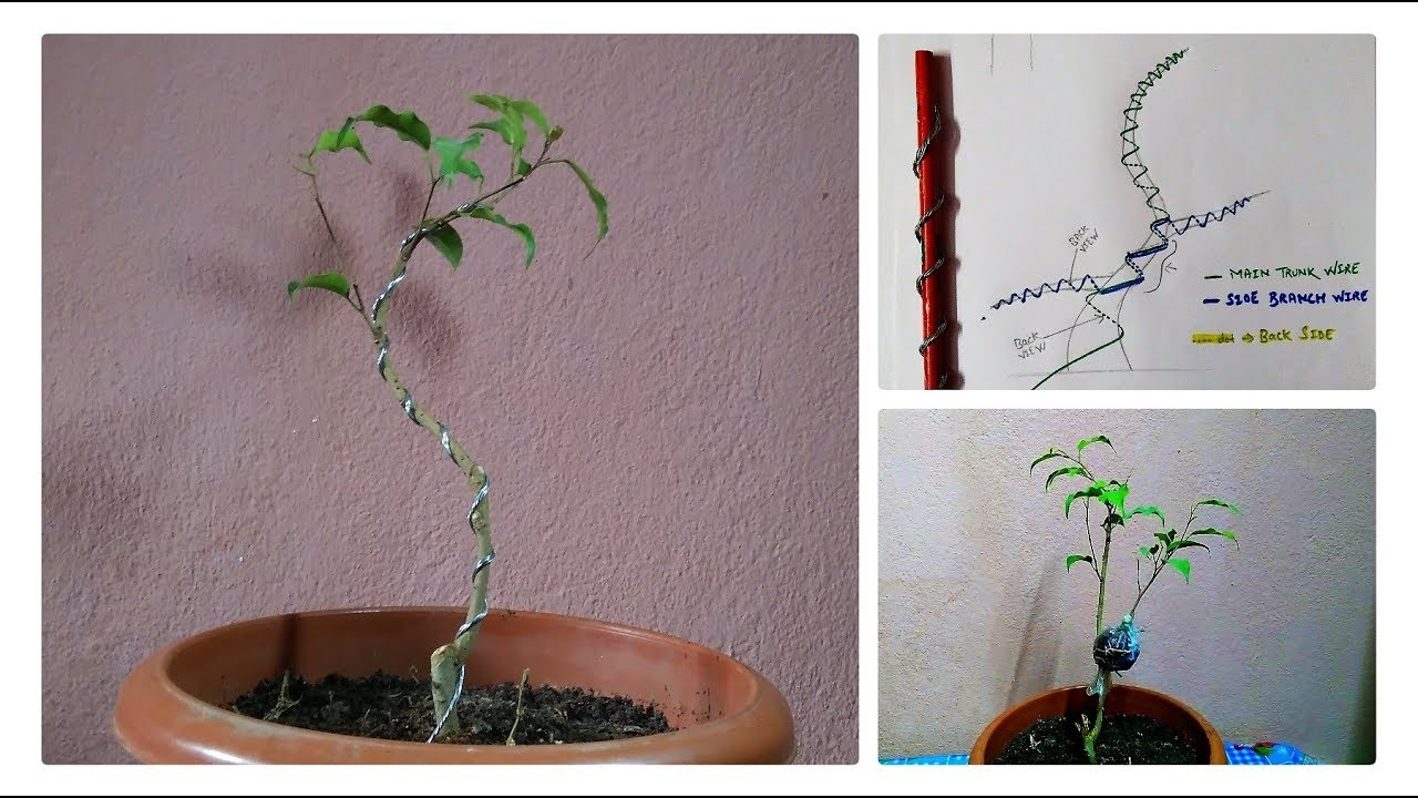 How To Make Ficus Bonsai Wiring And Shapes Basic My Air Layering Update