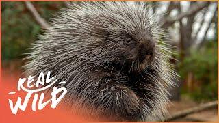 The Secret Life Of Porcupines (Wildlife Documentary)   Wild America   Real Wild