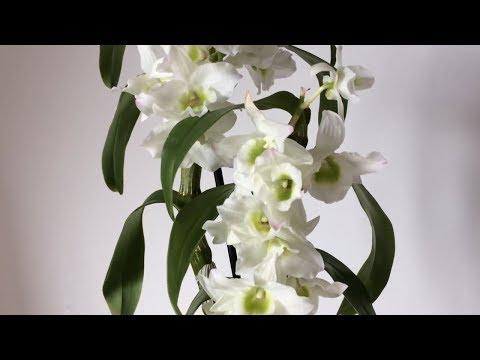 Орхидея ДЕНДРОБИУМ НОБИЛЕ цветет. Уход, полив, размножение ДЕНДРОБИУМА НОБИЛЕ. Детки дендробиума.