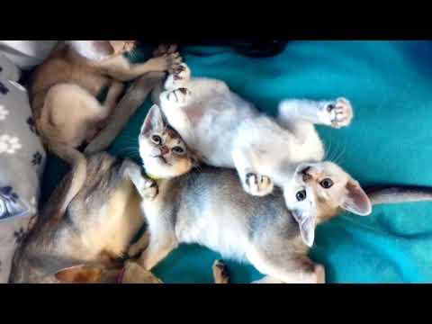 Singapura F2 kittens playing.