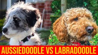 Labradoodle vs Aussiedoodle; Which Poodle Mix Dog Breed Is Better?