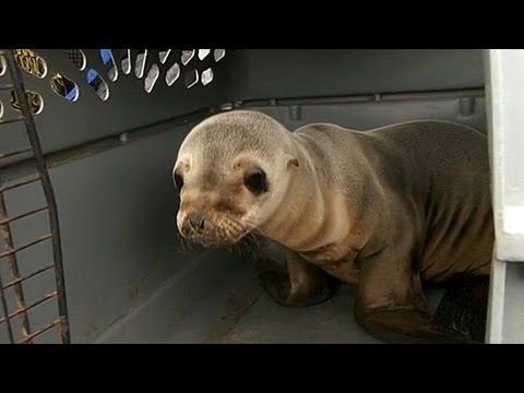 Cute Sea Lion Pups Rescued in California