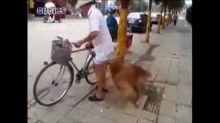 Golden Retriever Dog Guards And Rides Bicycle