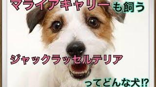ペットで犬を飼おうと迷っている方へ〜ジャックラッセルテリア〜 世の中...