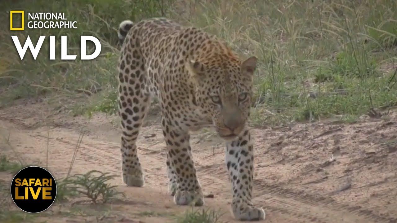 Safari Live - Day 313   Nat Geo Wild
