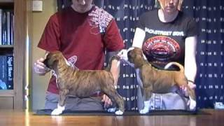 Boxer Dog Puppies 8 Weeks Old