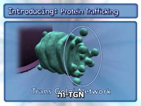 תנועת החלבונים בתא
