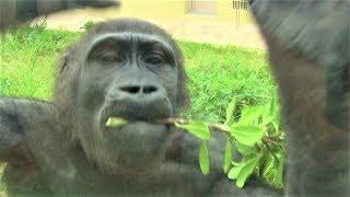 シャバーニ家族146  Shabani family gorilla thumbnail