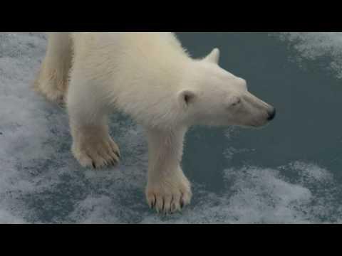 Polar bear touches our ship